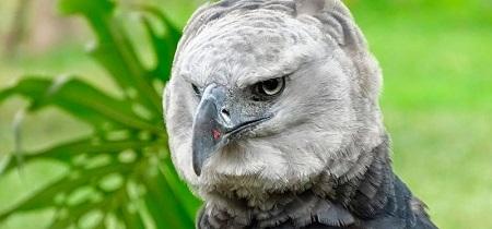 guila Arpía 2 - Águila arpía