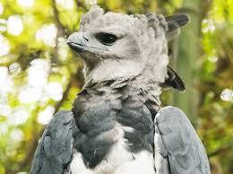 Aguila arp%C3%ADa - Águila arpía
