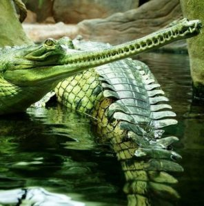 Gavial 1 296x300 - Reptiles