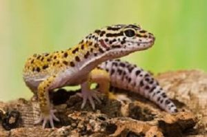 Gecko leopardo 1 300x199 - Reptiles