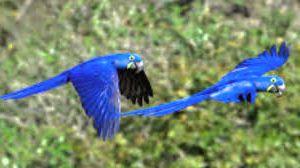 Guacamayo barba azul hd - Guacamayo