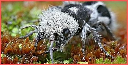Hormiga panda - Insectos
