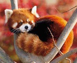 Panda rojo 2 - Mamíferos