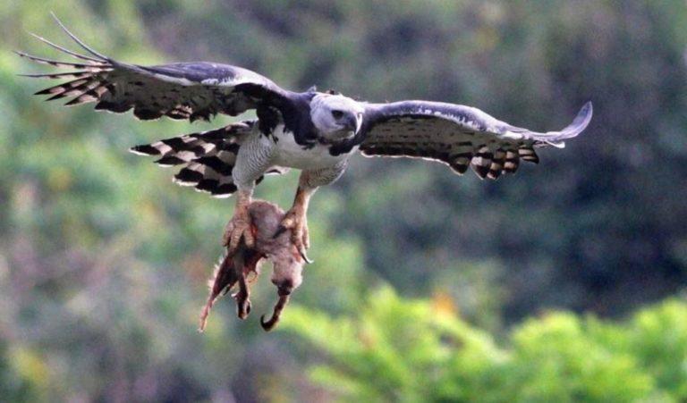 aguila arpia caza 768x451 - Águila arpía