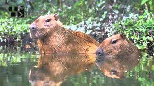 capibara 2 - Capibara