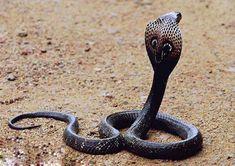 cobra real 4 - Cobra real