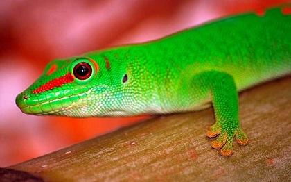 gecko3 - Reptiles