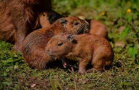 its8CxU - Capibara