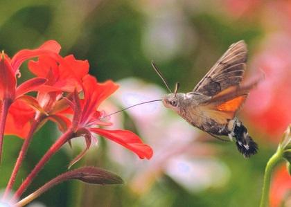 mariposa esfinge colibrí - Mariposa colibrí