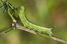 oruga mariposa colibri - Mariposa colibrí