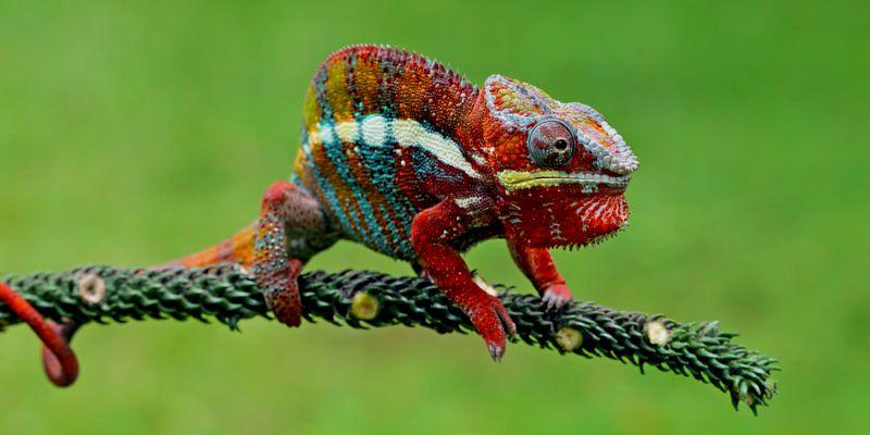 reptil exotico camaleon - Reptiles