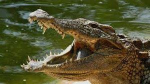 tipo cocodralia - Reptiles