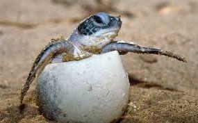 tortuga naciendo - Reptiles