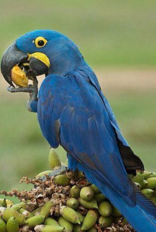 Guacamayo-azul-comiendo