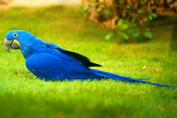 guacamayo azul jacinto