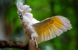 Cacatúa alba 300x192 - Animales Exóticos