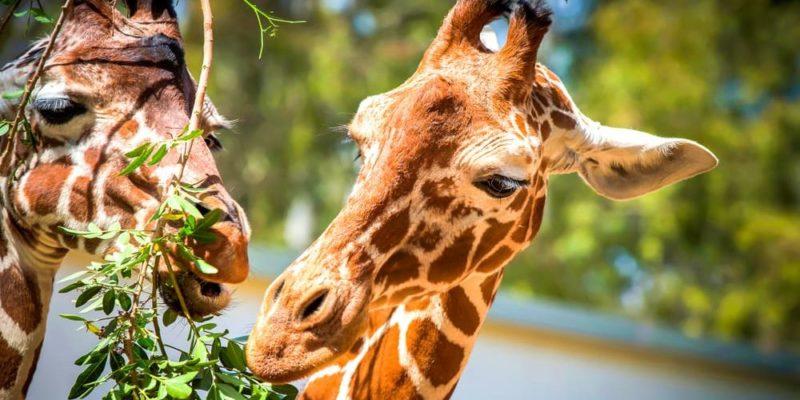 animales-herbivoros-jirafa