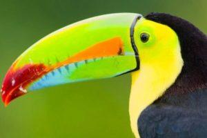 aves-exoticas-Piciformes