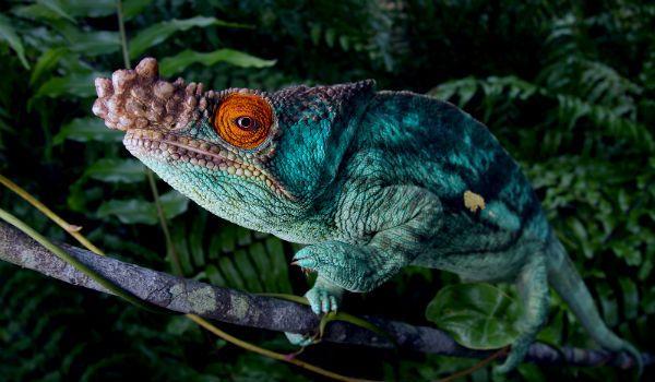camaleón de parson - Blog animales