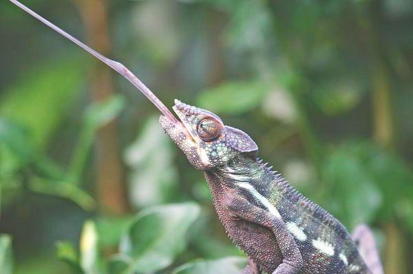 camaleón-lengua