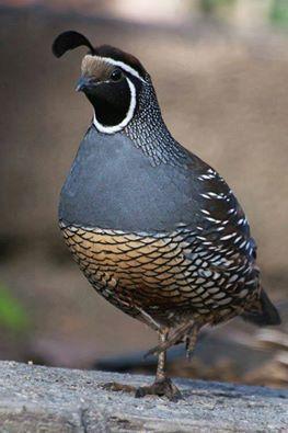 aves-exoticas-perdices
