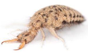 hormiga león 1 300x182 - Animales Exóticos