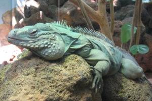 iguana azul 5 1 300x200 - Animales Exóticos