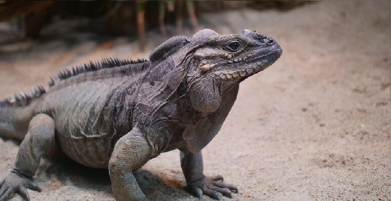 iguana rinoceronte - Iguana