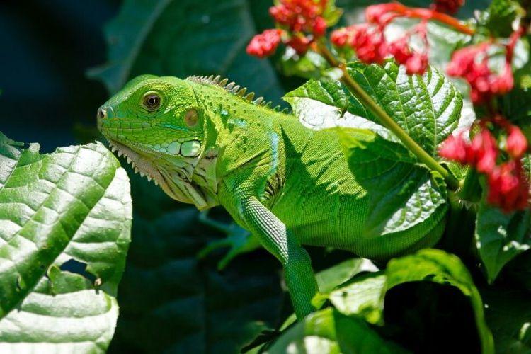 iguana verde clase - Iguana