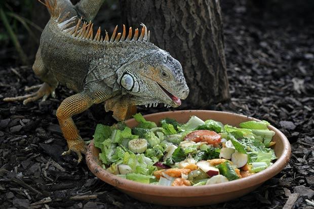 lizard 1760595i - Iguana
