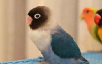 agapornis personata azul