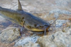 pez gato 300x199 - Peces
