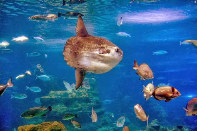 pez luna acuario 1 630x420 - Pez luna