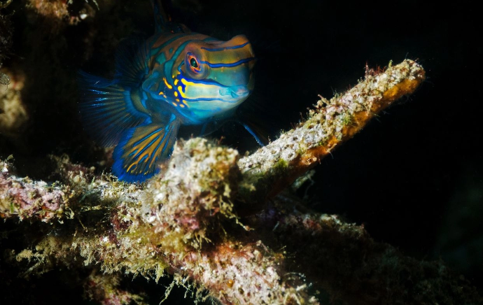 pez mandarin habitat