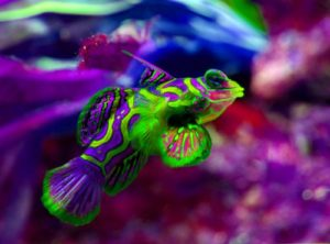 pez mandarin portada 300x222 - Animales Exóticos