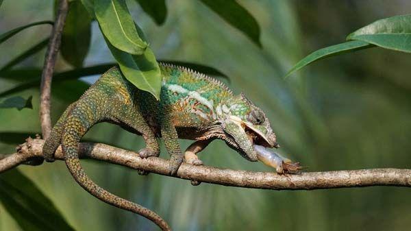 que comen los camaleones - Camaleón
