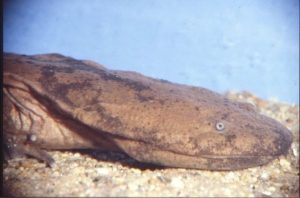 salamandra gigante china 300x198 - Animales Exóticos
