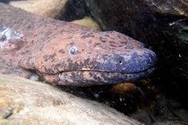 salamandra gigante china - Salamandra gigante china