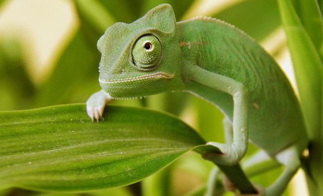 camaleon como mascota