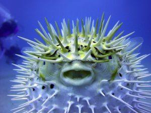 Pez globo o fugu 2 300x225 - Animales Exóticos