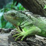 Brumación en los reptiles: ¿Qué es?