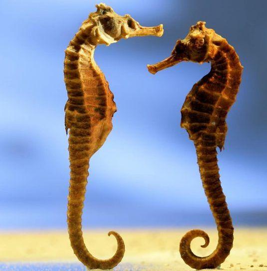 pareja de caballito de mar - Caballito de mar