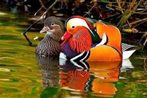 pato mandarín portada 300x200 - Animales Exóticos