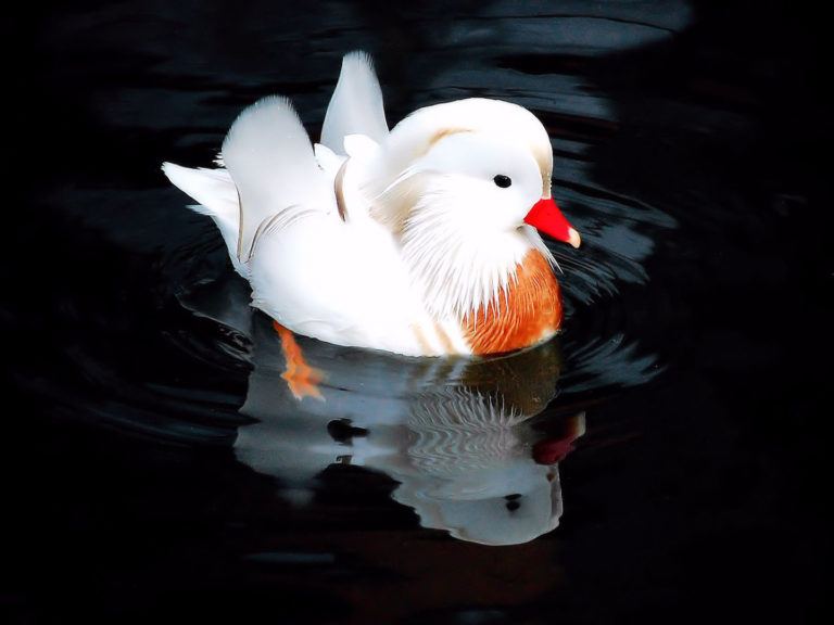 pato mandarin albino 0975e449 1a86 43c8 a0f8 ad7d97291d44 768x576 - Pato mandarín