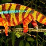 Camaleones: ¿Porqué cambian de color?