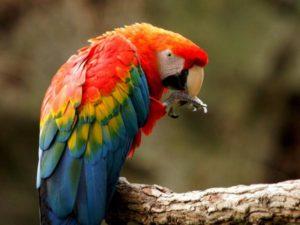 4 guacamaya roja 22665 3 600 300x225 - Blog animales