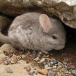 animales exóticos en peligro de extinción en chile