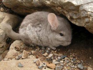 animales en peligro de extinci%C3%B3n en Chile portada 300x225 - Blog animales