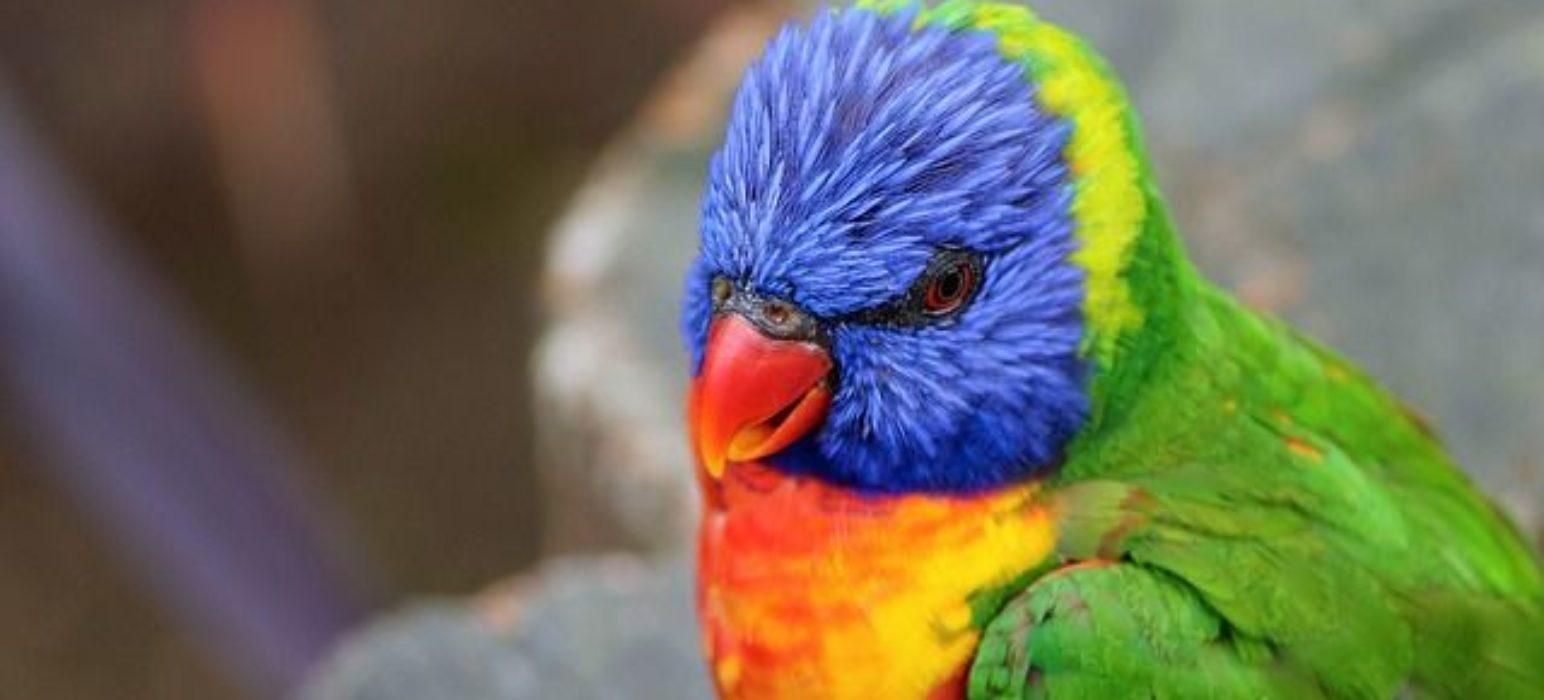 loris arcoiris