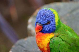 Loris arcoiris home 300x200 - Animales Exóticos